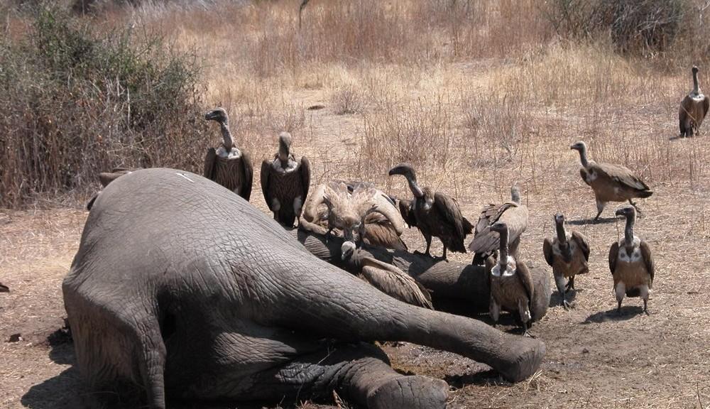 Caza futiva en Tanzania